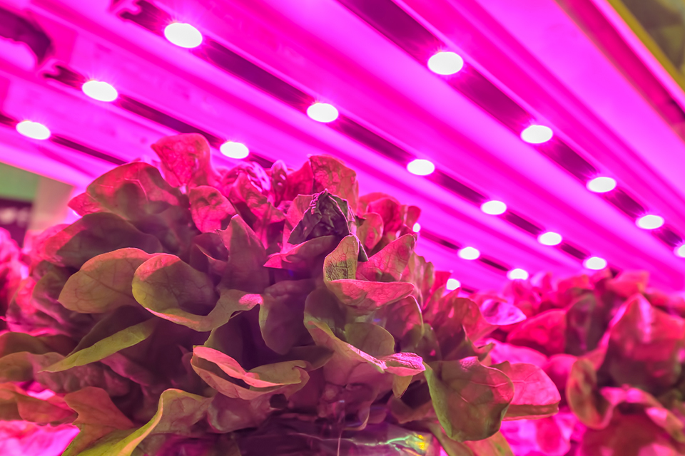 lettuce growing under energy-efficient grow light